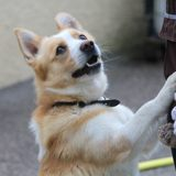 Presto, Chien welsh corgi à adopter