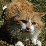 Chuck, Chat européen à adopter