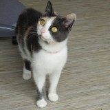 Morphée, Chat  à adopter