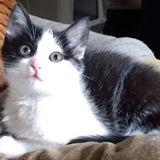 Chloé, Chat  à adopter
