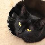 Shirley - adorable ado très sociable à adopter, Chat  à adopter