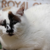 Edelweiss, Chat siamois à adopter