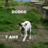 Dodge, Chien  à adopter