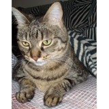 Linette, Chat à adopter