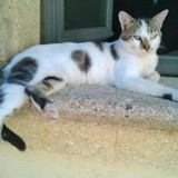 Valentino, Chat européen à adopter