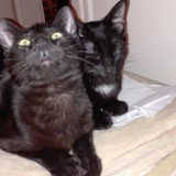 Silver & albatro, Chat  à adopter