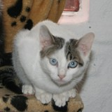 Blue, Chat  à adopter