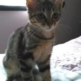 Mannie, Chat  à adopter