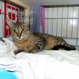 Shon, Chat  à adopter
