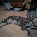 Mamori, Chat  à adopter