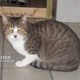 Gaston, Chat  à adopter