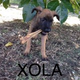Xola, Chien  à adopter