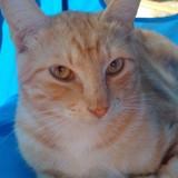 Dino, Chat européen à adopter