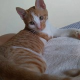 Blini, Chat  à adopter