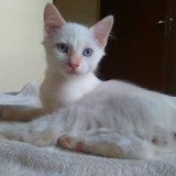 Pompon, Chat  à adopter