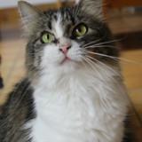 Zorette, Chat européen à adopter