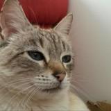 Loula, Chat  à adopter