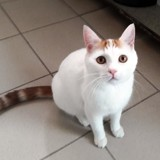 Simba, Chat  à adopter