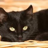 Zaphira, Chat  à adopter