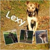 Lexy, Chien  à adopter