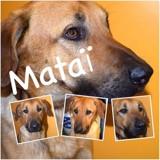 Mataï, Chiot  à adopter