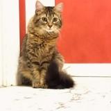 Albertine, Chat  à adopter
