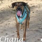 Chana, Chien  à adopter