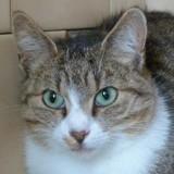 Calinou, Chat  à adopter
