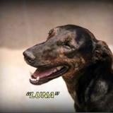 Luna, Chien dobermann à adopter