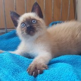 Smoothie, Chaton siamois à adopter
