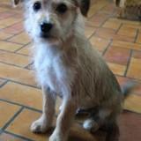 Ninja, Chiot basset fauve de bretagne, yorkshire terrier à adopter