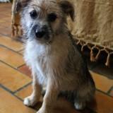 Nono, Chiot basset fauve de bretagne, yorkshire terrier à adopter