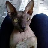 Chadou, Chat sphynx à adopter