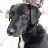Nina, Chien border collie, labrador retriever à adopter