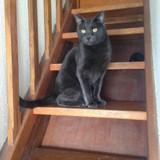 Lifou, Chat chartreux à adopter