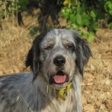 Sultan, Chien setter anglais à adopter