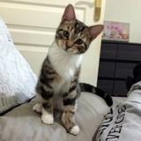 Koukii, Chat européen à adopter