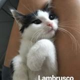 Lambrusco, Chaton  à adopter