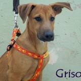 Griso, Chiot  à adopter