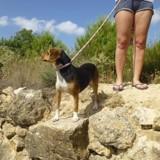 Bijou, Chien beagle à adopter