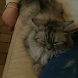 Bella, Chat  à adopter