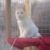 Blanco, Chaton  à adopter
