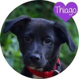 Thiago, Chiot  à adopter