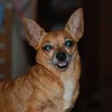 Wiinut, Chien chihuahua à adopter