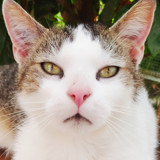 Alton, Chat européen à adopter