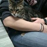 Juliette, Chat  à adopter