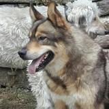 Lexi, Chien berger allemand, husky sibérien à adopter
