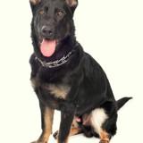 Max, Chiot berger allemand à adopter