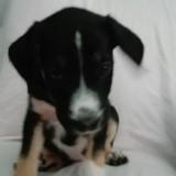 Carmen, Chiot  à adopter