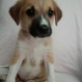 Nina, Chiot  à adopter
